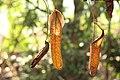 Nepenthes 'Miranda' (74).jpg