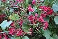 Nerium oleander 7 2017-07-20.jpg