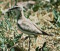 Nesting Mountain Plover.jpg