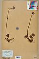 Neuchâtel Herbarium - Homogyne alpina - NEU000017010.jpg