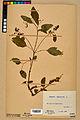 Neuchâtel Herbarium - Impatiens noli-tangere - NEU000019934.jpg