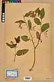 Neuchâtel Herbarium - Impatiens noli-tangere - NEU000019948.jpg