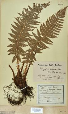 Neuchâtel Herbarium - Polystichum lobatum - NEU000001243 cropped.tif