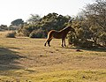 New Forest pony eating gorse on Ocknell Plain - geograph.org.uk - 707564.jpg