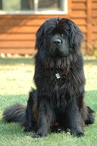 Newfoundland dog Smoky.jpg