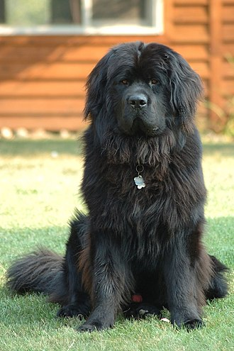 Newfoundland dog - Image: Newfoundland dog Smoky
