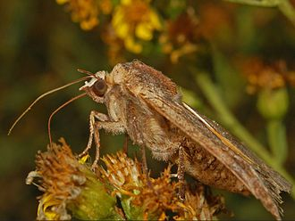 Lesser yellow underwing - Image: Noctuidae Noctua comes 1