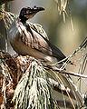 Noisy Friarbird.jpg