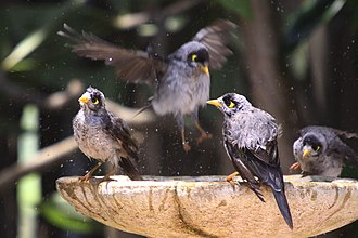 Noisy miner - A gregarious species, the noisy miner engages in most activities communally.