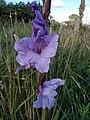 Noordwijk - Blue flowers.jpg