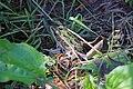 Northern Leopard Frog (35740800890).jpg