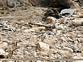 Northern Pintail (Anas acuta) & Eurasian Wigeon (Anas penelope) (36835659324).jpg