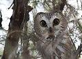 Northern Saw-whet Owl (31120500013).jpg