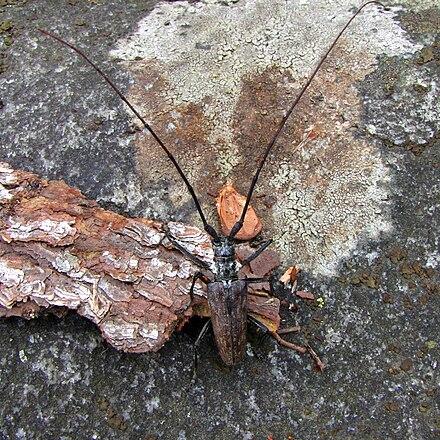 Bursaphelenchus xylophilus - WikiVisually