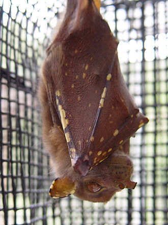 Eastern tube-nosed bat - Image: Nyctimene robinsoni
