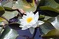 Nymphaea Gladstoniana 0zz.jpg
