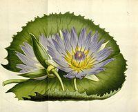 Nymphaea capensis Fl. Serres Eur. 6. 341. 1850