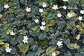 Nymphoides hydrophylla 7896.jpg
