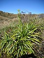 O Fim de Isabeloca^^^ Bromélia espinhosa^ - panoramio.jpg