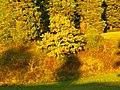 Oak - panoramio (7).jpg