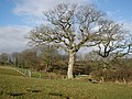 Oak tree in winter sunshine - geograph.org.uk - 1133936.jpg