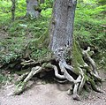Octopus-like tree base, Forest of Dean - geograph.org.uk - 869092.jpg