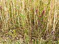 Odontites vernus sl6.jpg