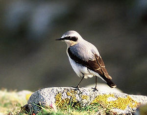 Wheatear - Northern wheatear (male)