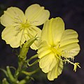 Oenothera argillicola flowers.jpg