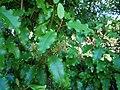 Olearia paniculata 11.jpg