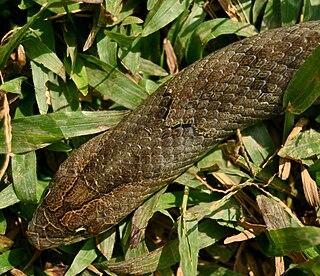 Brown kukri snake