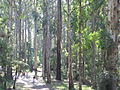 Olinda Forest.JPG