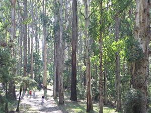 Dandenong Ranges - Olinda Forest, west of Olinda Falls