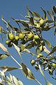 Olives (Tanche) (Drome 26000) Cl9.J Weber (5) (23158689132).jpg