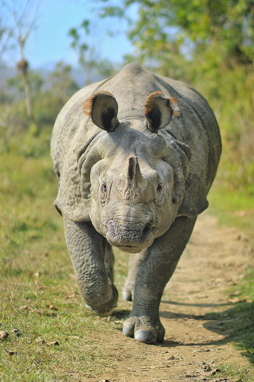 One-horned Rhinoceros at Chitwan National Park