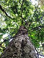 One of the oldest tree in Mount Isarog, Curry, Pili, Camarines Sur, Philippines.jpg