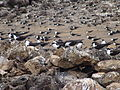Onychoprion fuscatus Ascension Island 3.jpg