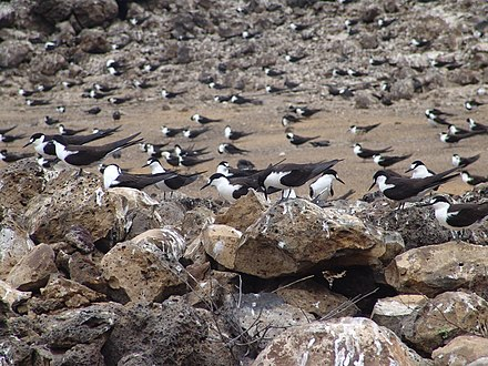 A few of the 130,000 Atlantic sooty terns at Mars Bay breeding grounds, Ascension Island, in January 2009 Onychoprion fuscatus Ascension Island 3.jpg