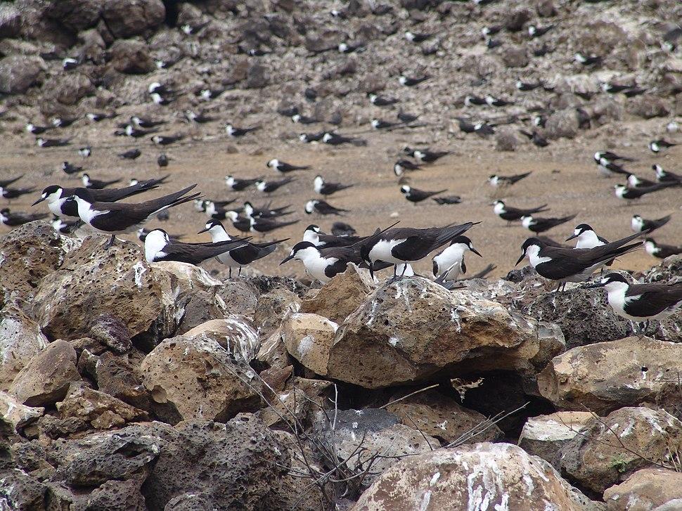 Onychoprion fuscatus Ascension Island 3