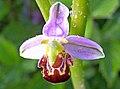 Ophrys apifera apifera.jpg
