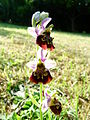Ophrys fuciflora a Charmes-la-Cote 1.jpg