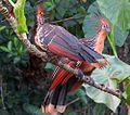 Opisthocomus hoazin - Flickr - Dick Culbert.jpg