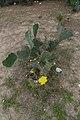 Opuntia ficus-indica - Tajpur - East Midnapore 2015-05-02 9154.JPG