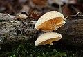 Orangeseitling Phyllotopsis nidulans.jpg
