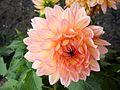 Orangey pink (8523572793).jpg
