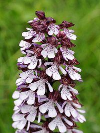 Orchis purpurea Saarland 017