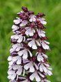Orchis purpurea Saarland 017.jpg