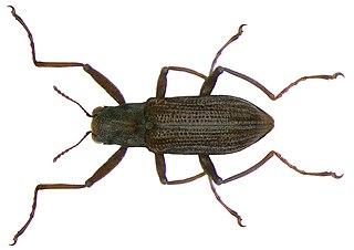 <i>Ordobrevia</i> Genus of beetles