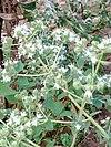 Origanum vulgare - Ορίγανον το κοινόν 01.jpg