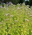 Origanum vulgare Aureum BotGardBln07122011C.jpg